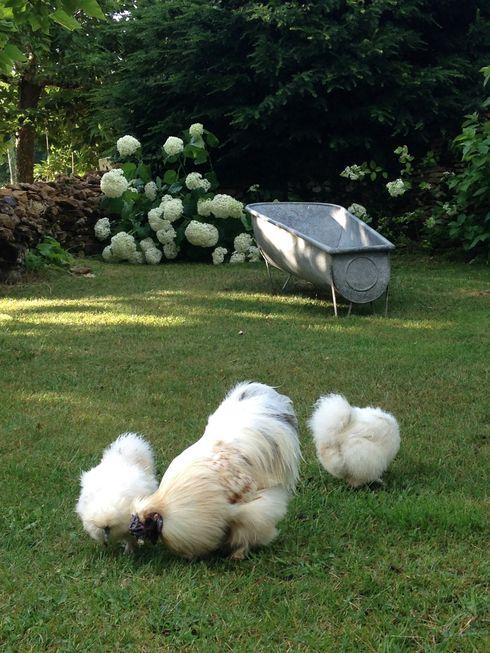 les poules au jardin