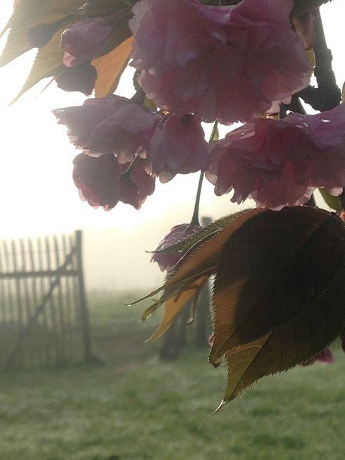 cerisier rose et pommier blanc