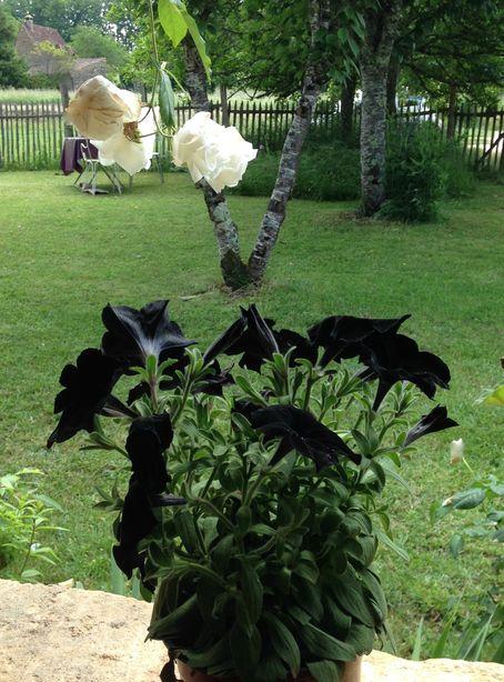 petunia noir